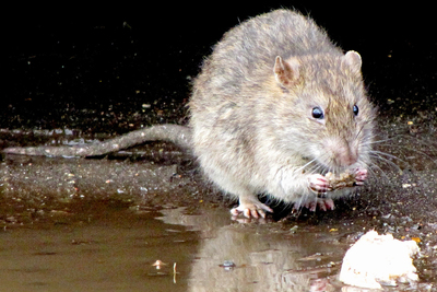 Rats are one of the more disturbing guests which can make their way into a home in the Winter.