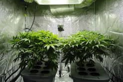 Raw and unprocessed cannabis plant material will be grown in greenhouses.