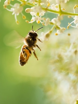 Similar to other animals, bees require a balanced diet of sugar, protein, vitamins and minerals, and water.