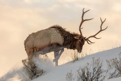Medium elk
