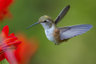 Hummingbirds do not drink though their beaks look like straws. They lap up nectar with their tongues.