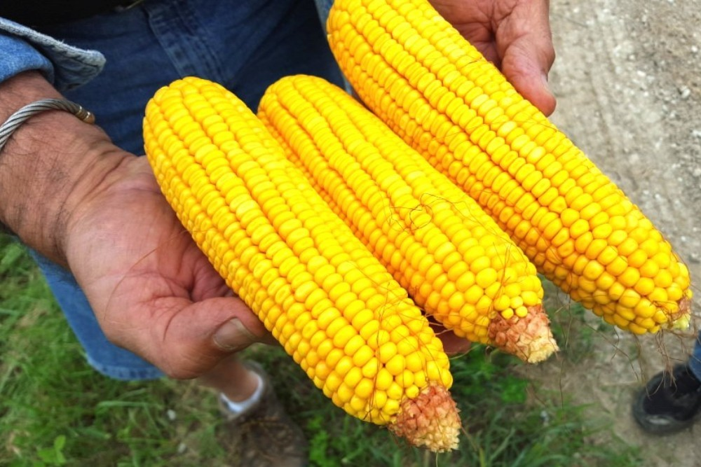 Statistician Schleusener sums up mid-June crop conditions