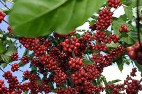 Nativo fungicide integrated into Brazilian coffee-protection program.
