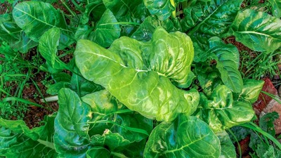Spinach is a great choice for a winter garden.