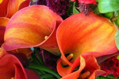 Calla lily colors range from white to brilliant oranges and pinks.