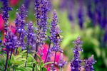 There's a salvia for every climate and soil type.