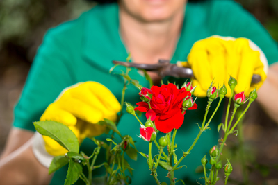 Travis County has partnered with the Texas A&M AgriLife Extension Service to offer a rose seminar on Feb. 4.