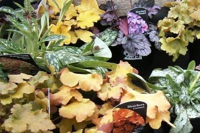 Heuchera foliage is a bright spot in a shady garden.