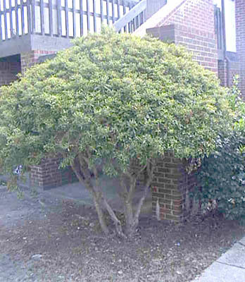 Wax myrtle (Morella cerifera) is a fast growing evergreen shrub that looks great as a hedge and is the ideal substitute for bamboo.