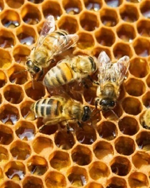 NCGA blames the decline in bee population to neonicotinoid seed treatments.