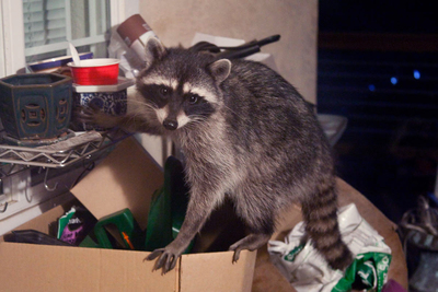 With the coming of winter, critters may seek shelter from the cold in your home.