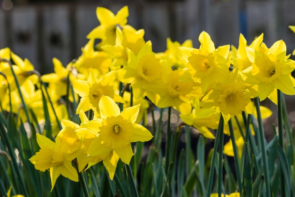 The planting of the daffodils will take place Nov. 13.