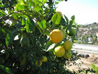 Lemon trees are among popular citrus varieties in the Austin area.