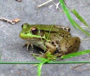 Medium frog300